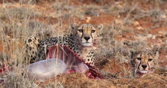 Kenya_cheetah-on-kill